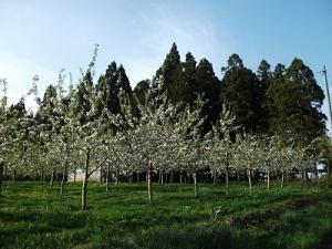 160512りんご畑