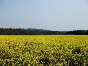160519菜の花畑