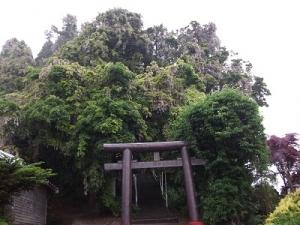 160609藤の古木
