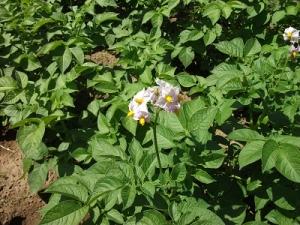 160713ジャガイモの花