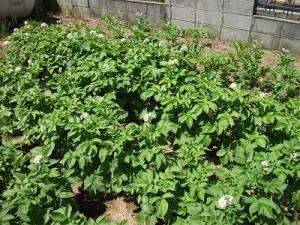 160713ジャガイモ畑