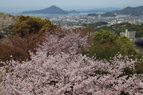 松山市総合公園・桜 160406 02