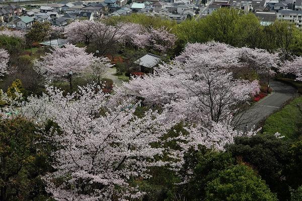 松山市総合公園・桜 160406 03