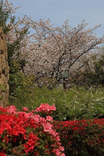 松山市総合公園・桜 160406 04
