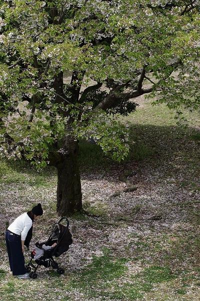 松山市総合公園・桜 160406 01