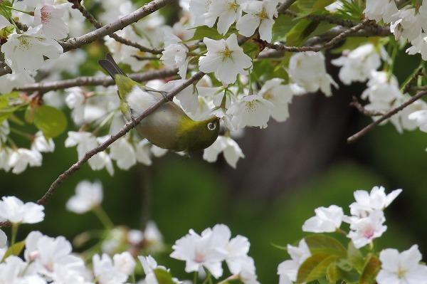 松山市総合公園・桜 160406 05