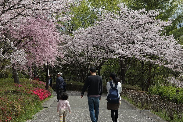 松山市総合公園・桜 160406 07