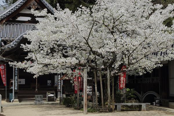 西法寺・オオシマザクラ 160406 01
