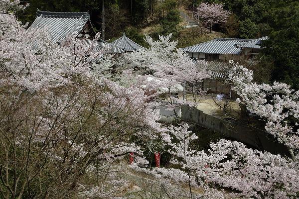 西法寺・桜 160406 01