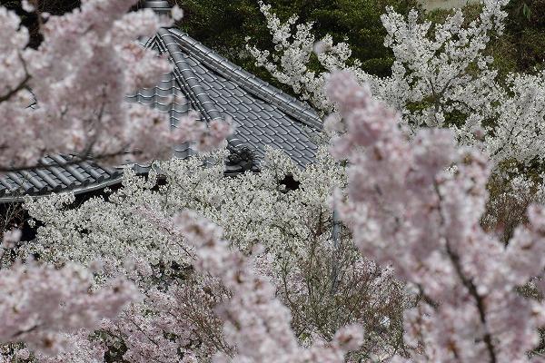 西法寺・桜 160406 02