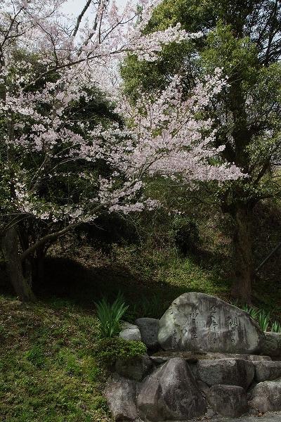 西法寺・桜 160406 03