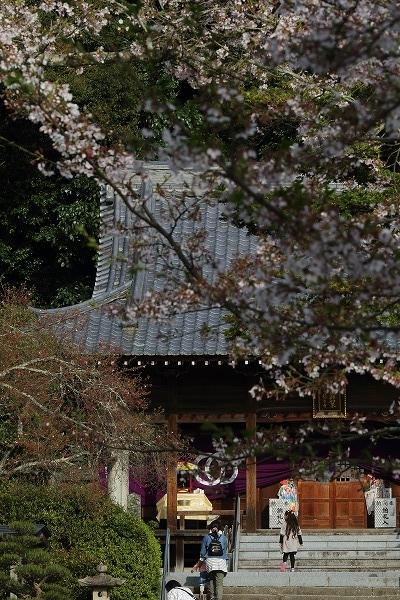 繁多寺ソメイヨシノ 160408 01