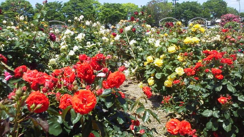 富士中央公園のバラ 5