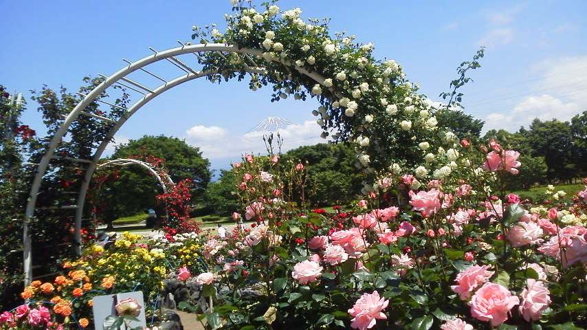 富士中央公園のバラ 1