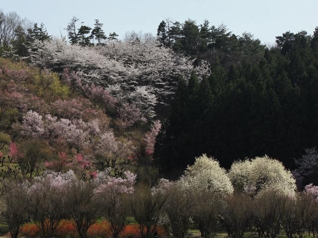 28-04-09 75花見山号 can 089 (640x479)