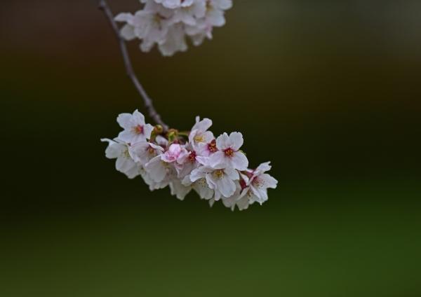 桜 入西-001