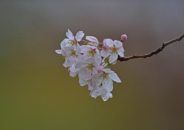 桜 入西-009
