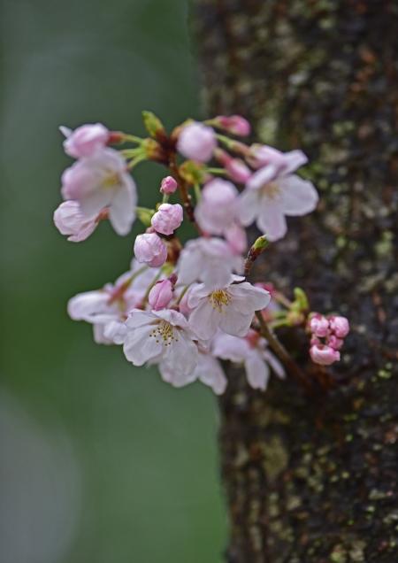 桜 入西-006