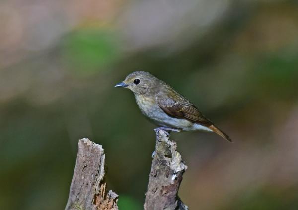 キビタキ雌2 -027
