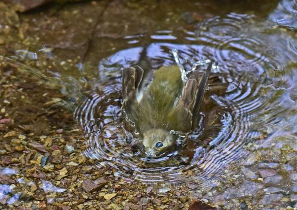 キビタキ雌3水浴び -100