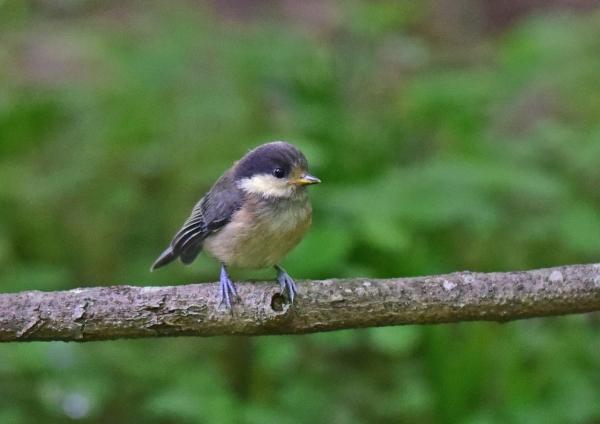ヤマガラ幼鳥1 -018