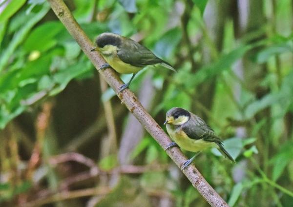 ヤマガラ幼鳥2 -038