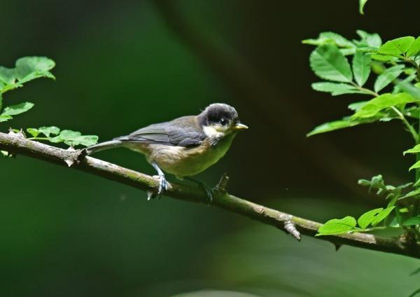 ヤマガラ幼鳥3 DSC_0551
