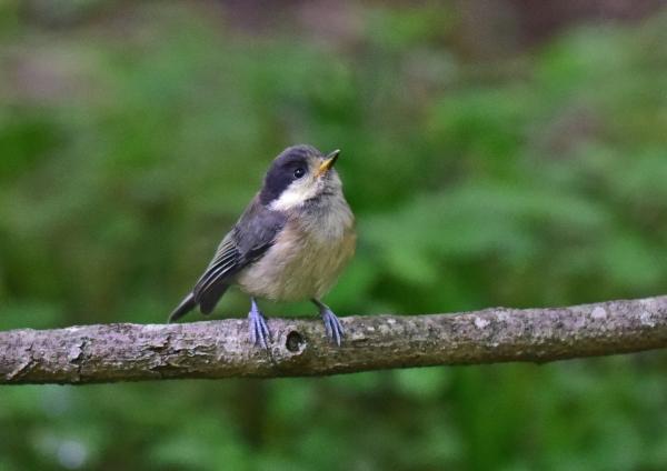 ヤマガラ幼鳥4 -021