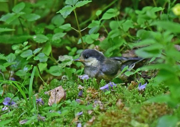 ヤマガラ幼鳥5 - 021