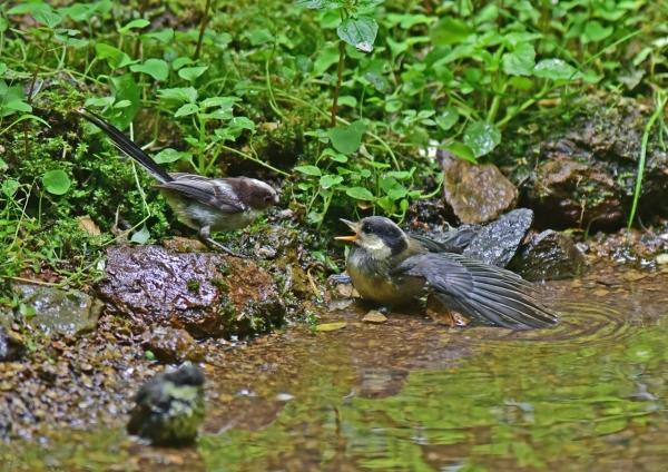 エナガ幼鳥とヤマガラ幼鳥4 D