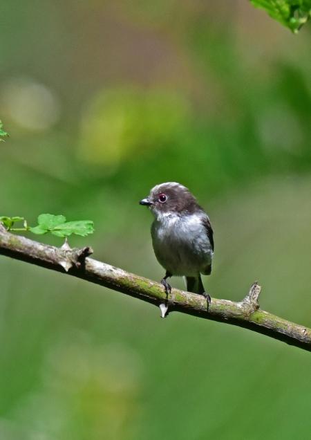 エナガ幼鳥1 DSC_0189