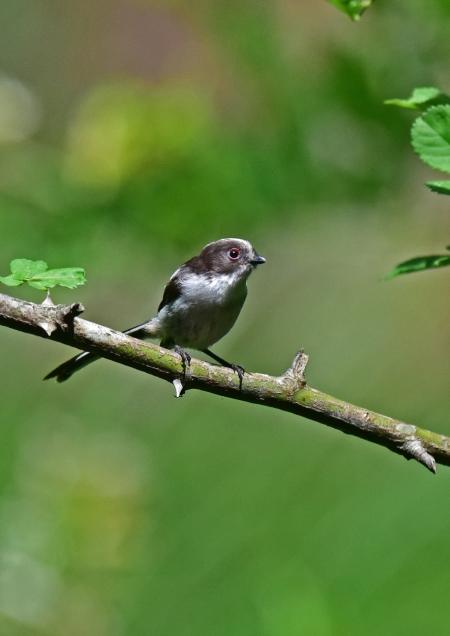 エナガ幼鳥2 DSC_0170