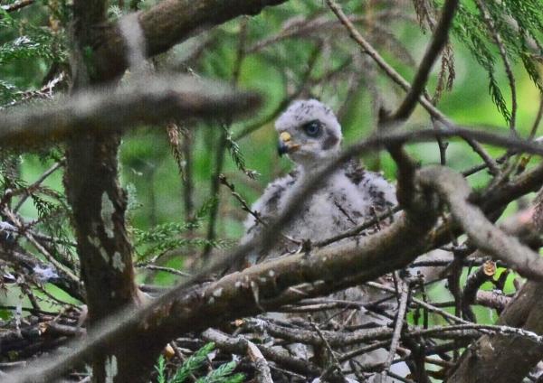 オオタカ幼鳥1 DSC_0023