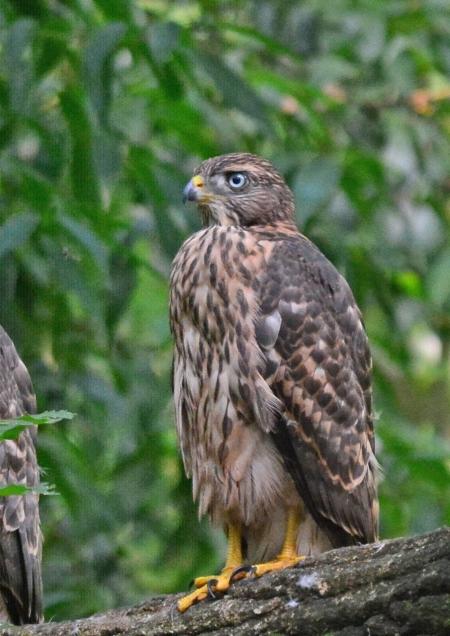 オオタカ幼鳥2 DSC_0262