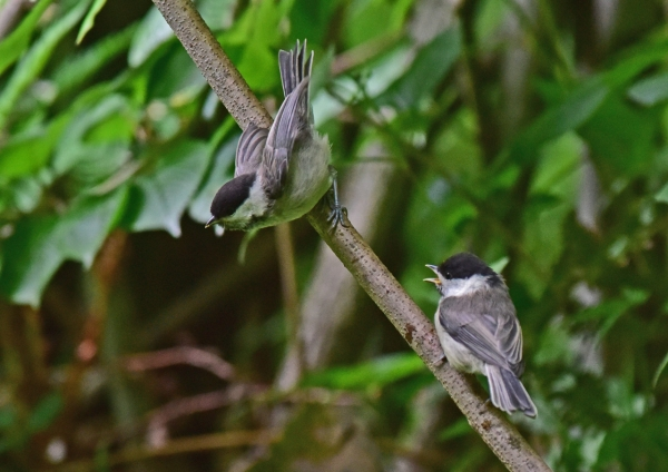 コガラ幼鳥1 DSC_0445