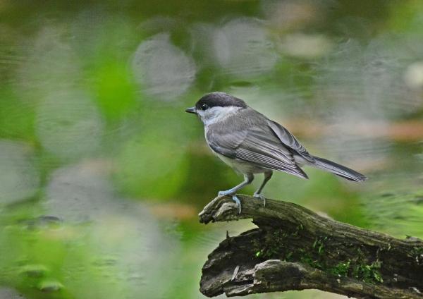 コガラ幼鳥2 DSC_0278