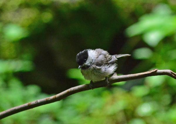 コガラ幼鳥3 DSC_0354