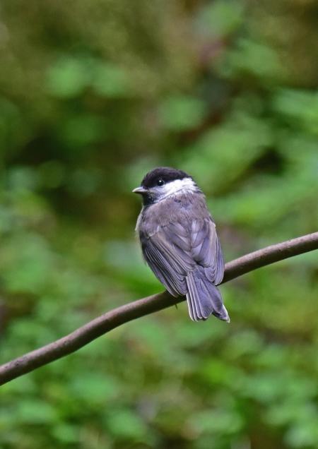 コガラ幼鳥5 DSC_0439