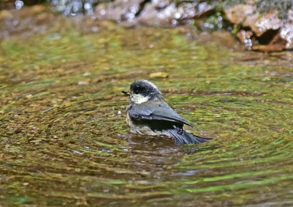 ヤマガラ幼鳥7 DSC_0385