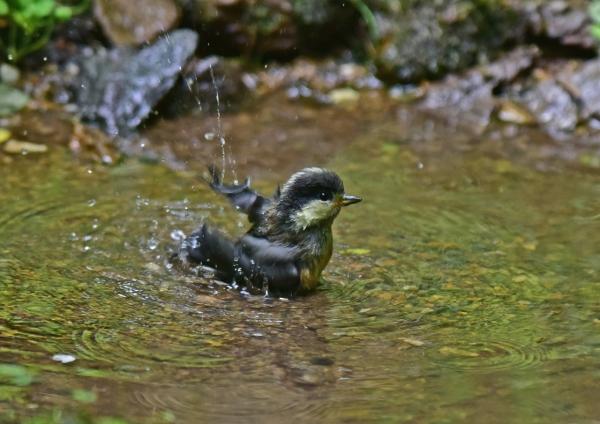 ヤマガラ幼鳥8 DSC_0310