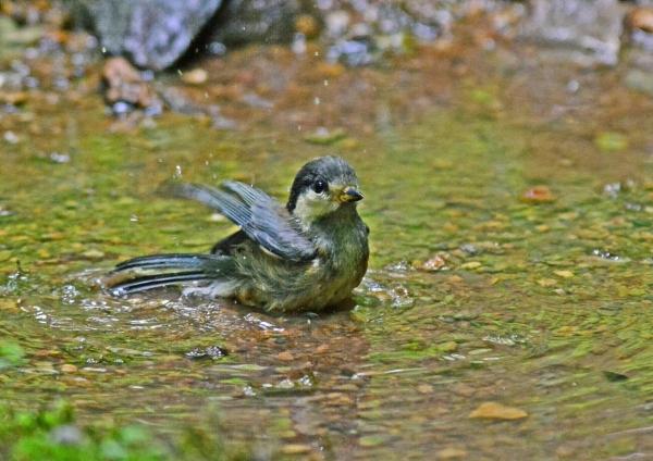 ヤマガラ幼鳥9 DSC_0218