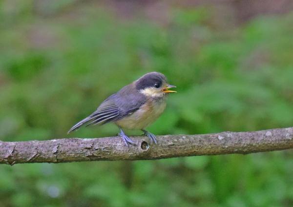 ヤマガラ幼鳥1 -020