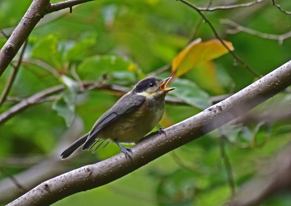 ヤマガラ幼鳥2 DSC_0074