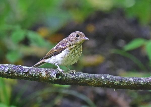 キビタキ幼鳥2 DSC_0584