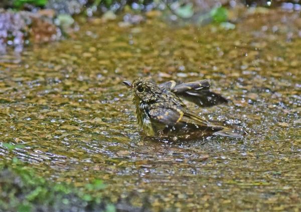 キビタキ幼鳥水浴び4 DSC_082