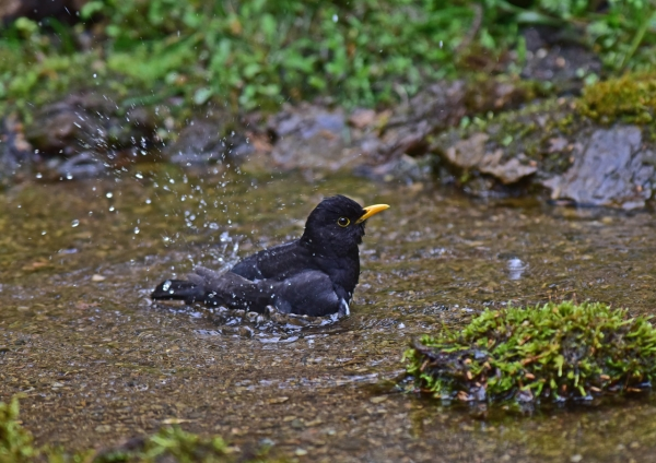 クロツグミ水浴び4 -017