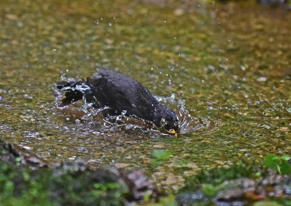 クロツグミ水浴び5 DSC_0265