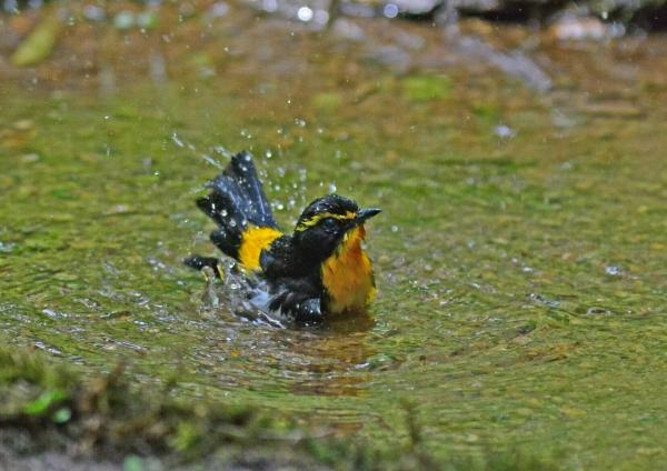 キビタキ水浴び1 DSC_0676