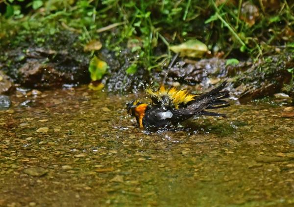 キビタキ水浴び4 DSC_0522