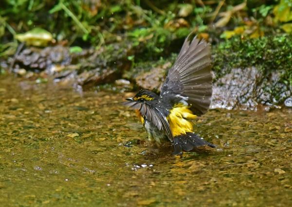キビタキ水浴び5 DSC_0437